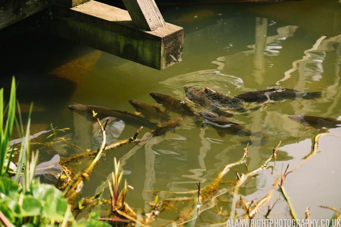 Fish at the water surface eating food