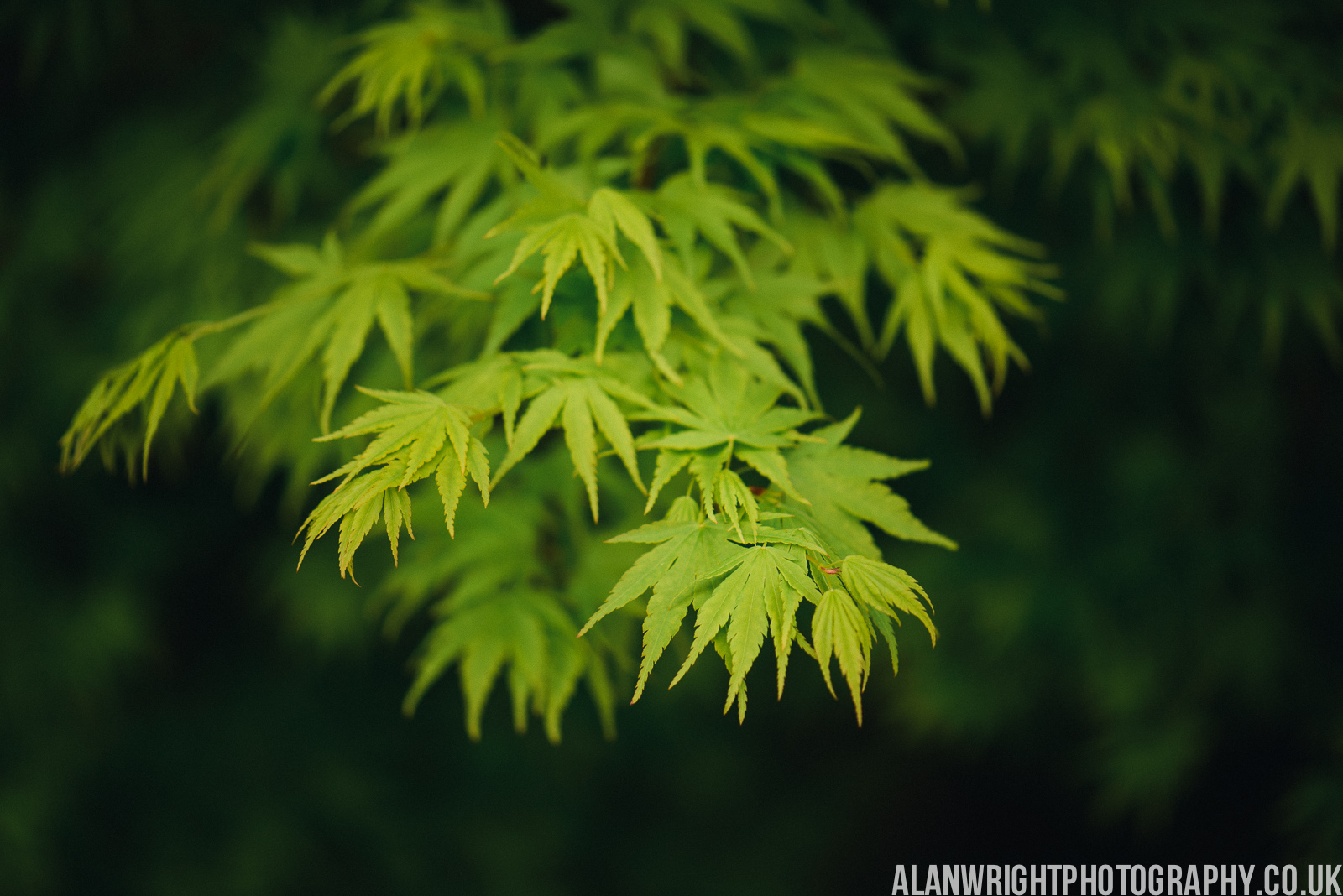 Newly sprouted Acer leaves - RHS Gardens Wisley